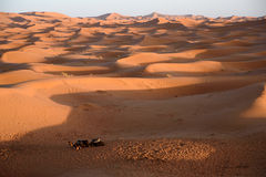 Camels at the dunes, Morocco, Sahara Desert Stock Photography