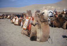 Camels, Dunhuang,China. Camels waiting for passengers,Dunhuang,Gansu,China Stock Images