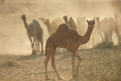 Camels in the Dust Stock Photography