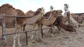 Camels eat in a deer in Israel stock video footage