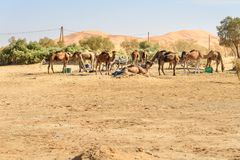 Camels in Erg Chebbi Sand dunes near Merzouga, Morocco Stock Photography