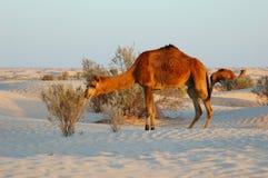 Camels eating bush Stock Photo