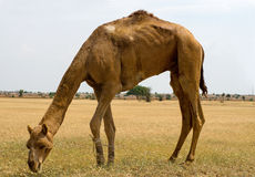 Camels eating grass Stock Photo