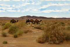 Camels eating the grass in Sahara desert, Morocco. Camels in the Sahara desert eat grass Royalty Free Stock Photography