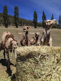 Camels eating hay Royalty Free Stock Photography