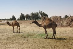 Camels in Egypt Royalty Free Stock Image