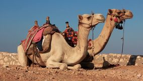 Camels stock video