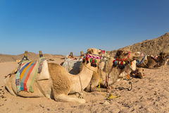 Camels on the egyptian desert Royalty Free Stock Photo