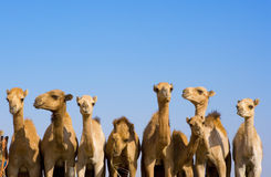 Camels, emirates. Many camels in a row, emirates royalty free stock image