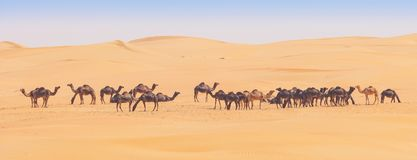 Camels in the Empty Quarter royalty free stock photos
