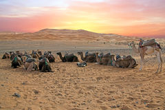 Camels in the Erg Shebbi desert in Morocco Stock Photo