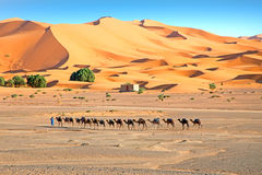 Camels in the Erg Shebbi desert in Morocco Royalty Free Stock Photos