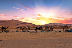 Camels in the Erg Shebbi desert in Morocco Royalty Free Stock Image