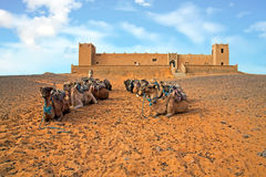 Camels in the Erg Shebbi desert in Morocco Royalty Free Stock Photography