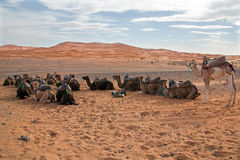 Camels in the Erg Shebbi desert in Morocco Stock Photography