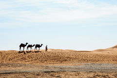 Camels at erg shebby Royalty Free Stock Photography