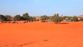 Camels in erg shebby Stock Images