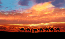 Camels in the evening glow background. Royalty Free Stock Photos