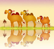 Camels family Royalty Free Stock Photography