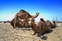 Camels farm stock photo