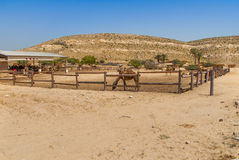 Camels on the farm Royalty Free Stock Image