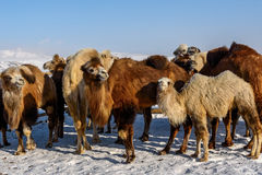 Camels farm snow winter Stock Photography