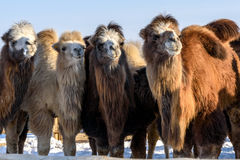 Camels farm snow winter Royalty Free Stock Photos