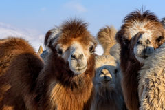 Camels farm snow winter Royalty Free Stock Photo
