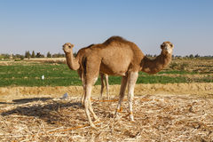 Camels in Fayoum. Two camels looking at the camera with green field in the background Stock Images