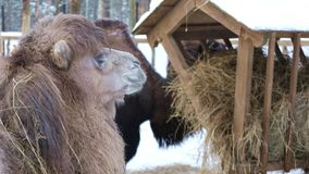 Camels at the feeder eating hay. At winter day stock footage
