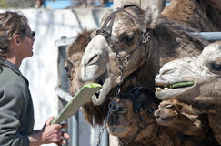 Camels Feeding Stock Images