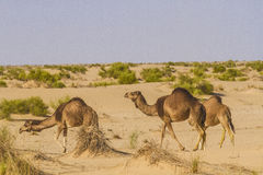 Camels. Feeding in algerian sahara Stock Images