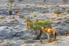 Camels feeding from bushes on Qeshm Island in Southern Iran, taken in January 2019 taken in hdr royalty free stock photography