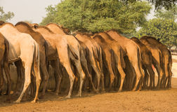 Camels feeding on a farm in Rajasthan Stock Photos