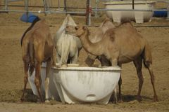 Camels Feeding in UAE Desert royalty free stock images