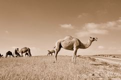 Camels in the field. Against a clear sky. Sepia Stock Image