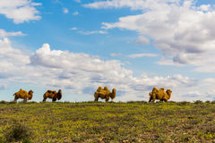 Camels in the field Stock Images