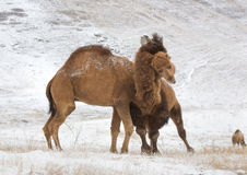 Camels fighting Stock Photography