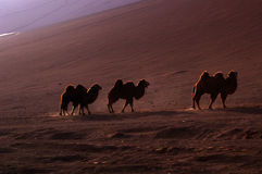 The camels of the flame mountain Stock Images