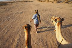 Camels follow the driver in early morning in desert stock image