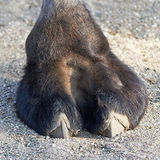 Camels foot. Closeup image of a camels foot and toes royalty free stock photography
