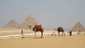 Camels in front Pyramids of Egypt Royalty Free Stock Images