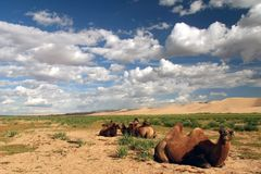 Camels in front of sand dunes Royalty Free Stock Images
