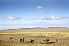 Camels in the Gobi Desert Stock Image