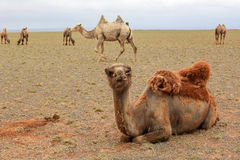 Camels in the Gobi Desert, Mongolia Royalty Free Stock Photography