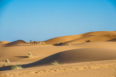 Camels in Sahara. Aarabian camels walk through the desert Sahara in Morocco Stock Photography