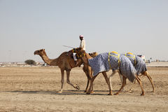 Camels going to the race track Stock Photos