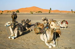 Camels gossip in the Sahara. Morocco Royalty Free Stock Images