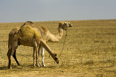 Camels grazing Royalty Free Stock Photo