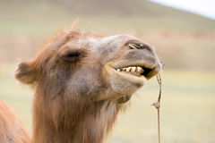 Camels grin. Mongolian Bactrian camels head with bared teeth royalty free stock photography